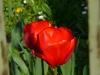Tulipanino