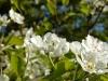 Jablečné květy mouhou být i domov